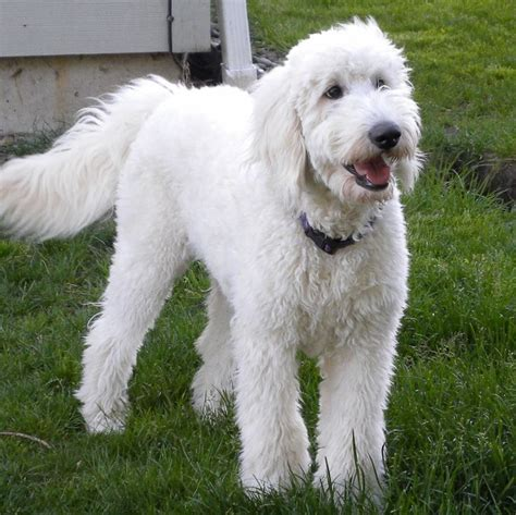 mini goldendoodles oregon labradoodles vs goldendoodles aussiedoodle and