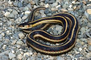 valley gartersnake thamnophis sirtalis fitchi