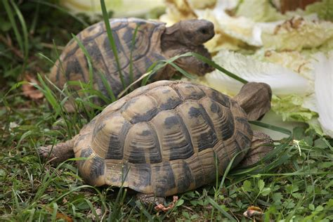 russian tortoises learn about nature get to know the russian tortoise