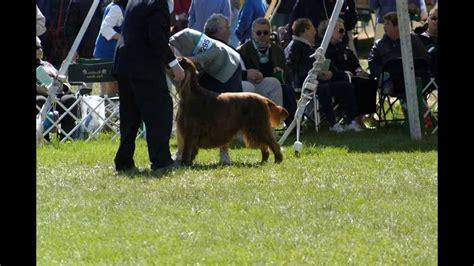irish setter national dog show 2013 irish setter national dog show funnydog tv