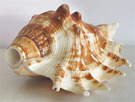 L Shells by Sea Shell For Decoration