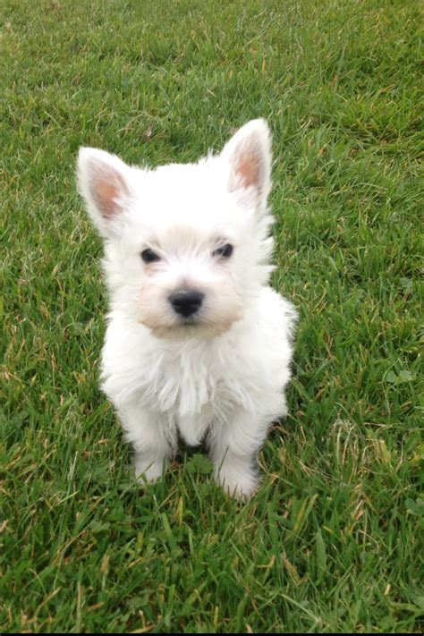 west highland puppies west highland terrier for adoption uk breeds picture