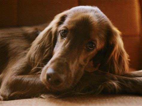 gordon setter therapy dog 1093 best images about irish setter love on pinterest