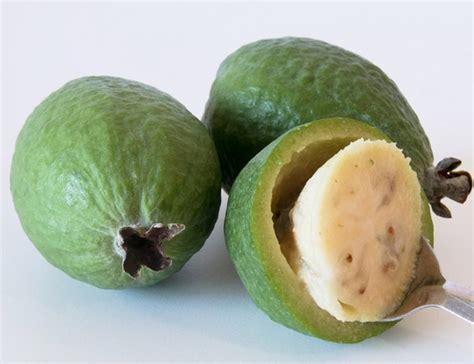 Jambu Biji Kerikil 60cm Berkualitas tanaman jambu rasa nanas feijoa bibitbunga