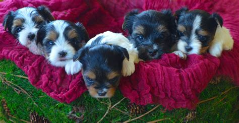 biewer terrier puppies rocky mountain biewer terriers dolores colorado