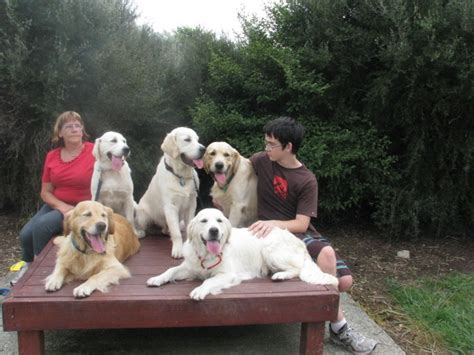 golden retriever breeders nz rehome golden retriever nz photo