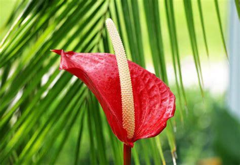 significato dei fiori anthurium cura della pianta anthurium scelte per te giardino