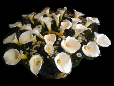 imagenes de flores alcatraces flor de alcatraz car interior design
