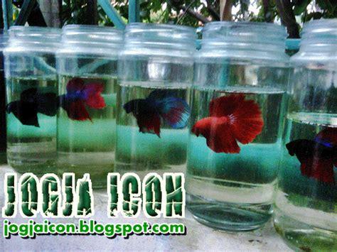 Pakan Ikan Cupang Selain Cacing jogja icon jogjaicon jogja fans ikan cupang dan budi