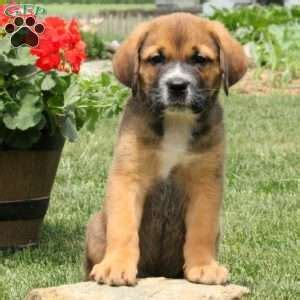 rottweiler for sale in nj rottweiler puppies for sale in de md ny nj philly dc and baltimore breeds picture