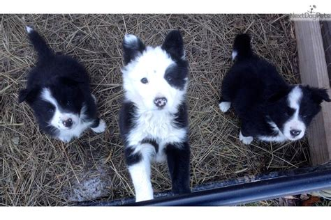 border collie puppies for sale near me border collie puppy for sale near rochester new york d2daab7a 24b1