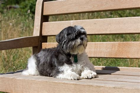 shih tzu vomiting and diarrhea shih tzu information things you need to about your shih tzu