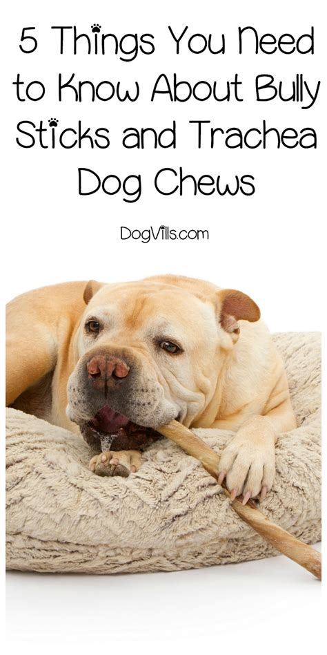 how should a puppy chew on a bully stick 5 things you need to about bully sticks and trachea chews dogvills