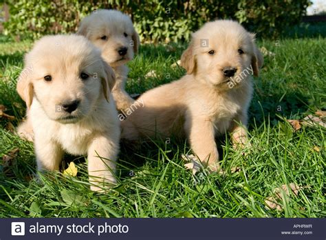 golden retriever puppies 6 weeks golden retriever akc 6 week puppies stock photo