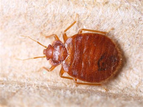 Killing Bed Bugs With by How To Kill Bed Bugs Mnn Nature Network