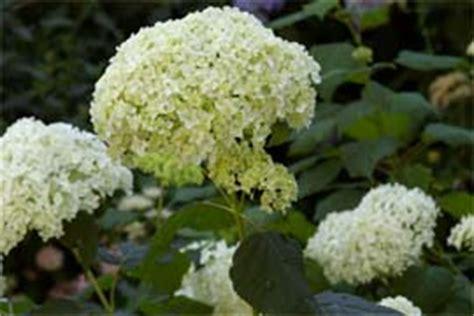 hortensie annabell schneiden 2842 hortensie annabell schneiden hortensie annabelle pflege