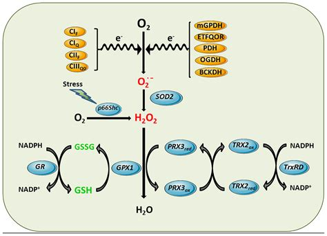 Cellar Antioxidant Defense And Detoxication System In The by Frontiers Glutathione And Mitochondria Pharmacology