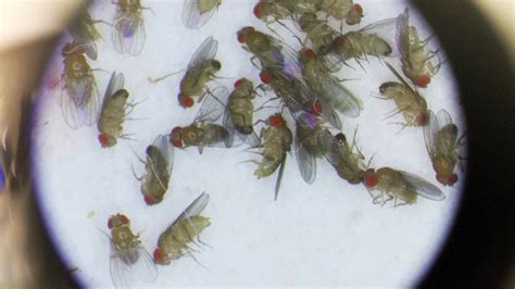 fruit fly lifespan variation at a central metabolic gene influences