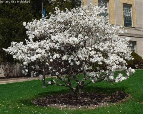 royal star magnolia ornamental tree front yard flowers