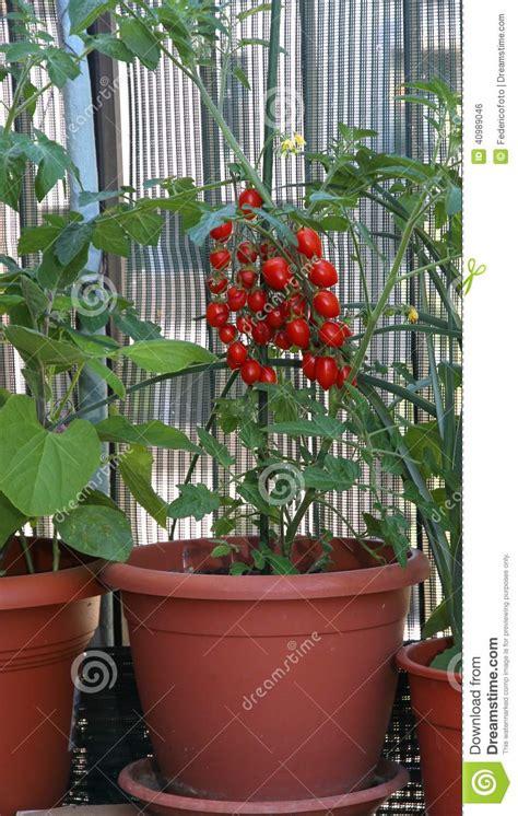 pomodori datterini in vaso vaso con i pomodori maturi tipo di datterino