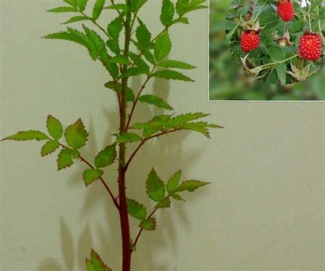 Jual Bibit Buah Raspberry jual tanaman raspberry bibit