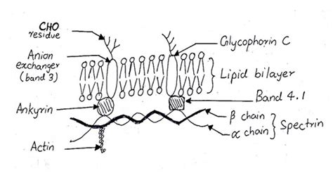 protein lipid ratio erythrocyte membrane update on current medicine the characteristics of