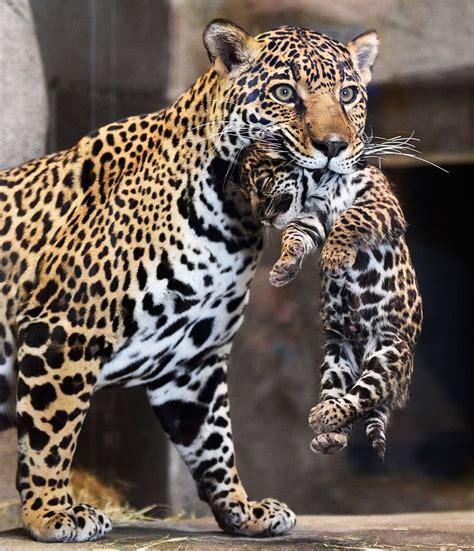 jaguar kitten jaguar zooborns