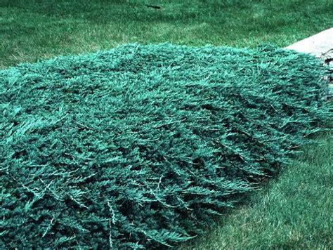 blue rug juniper seeds juniper gammon s garden center landscape nursery
