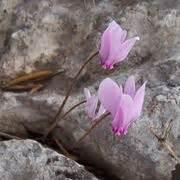 linguaggio dei fiori ciclamino significato ciclamino linguaggio dei fiori linguaggio