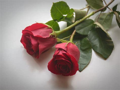 imagenes de rosas hermosas imagenes de rosas rojas para mi fotos de flores rosas