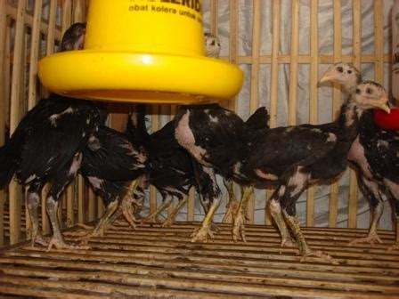 Anakan Ayam Bangkok Betina ciri ayam berkualitas rajanya ayam petarung