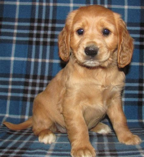 golden cocker retriever grown for sale de 25 bedste id 233 er inden for golden cocker retriever p 229 golden
