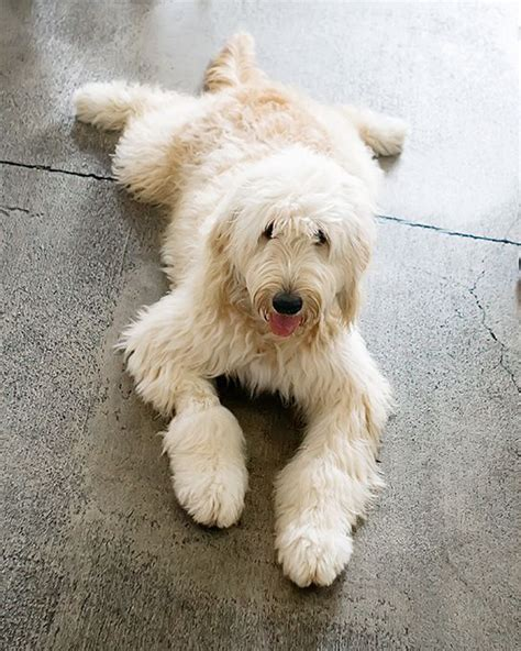 doodle lifespan tips tips for labradoodle puppy