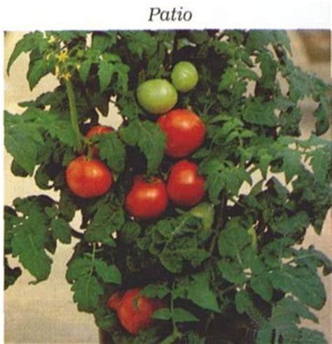 Patio Tomato Plant Care by Patio Tomato Seeds Plant