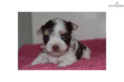 augie puppies for sale auggie doggie biewer terrier puppy for sale near stillwater oklahoma ced4719b 7da1