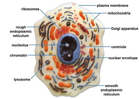 plant  animal cells  labeled google search