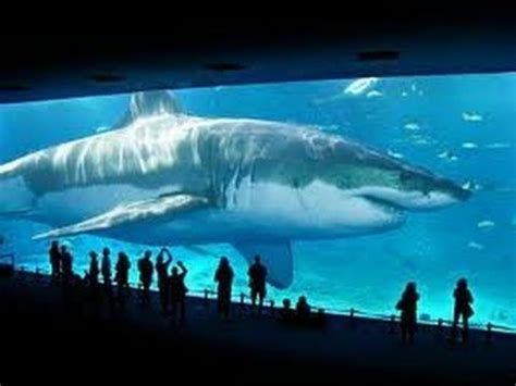 real megalodon shark proof/evidence 2015 (worlds biggest