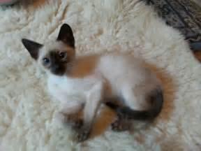 Siamese siamese cats siamese kittens in missouri bengal siamese mix
