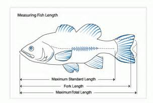 3di measures of fish length