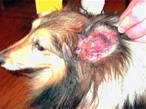 how to get rid of ear mites in dogs treatments and home