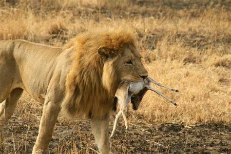 imagenes de leones animales leon cazando en serengueti serengueti pinterest