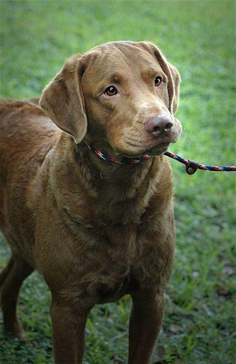 chessie puppies chesapeake bay retriever puppy chesapeake bay retrievers