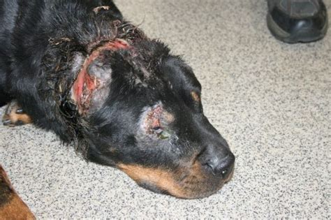 rottweiler beastiality rottweiler abuse archives rottweiler puppies for sale
