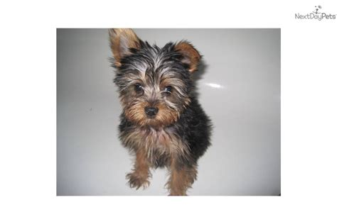 15 pound yorkie meet danna a terrier yorkie puppy for sale for 1 000 tiny teacup 1