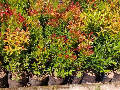 harga tanaman hias pucuk merah  serang www
