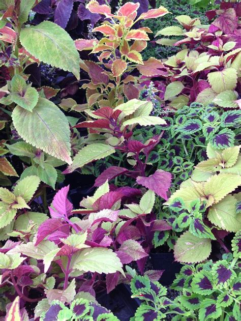 17 best images about coleus on pinterest gardens
