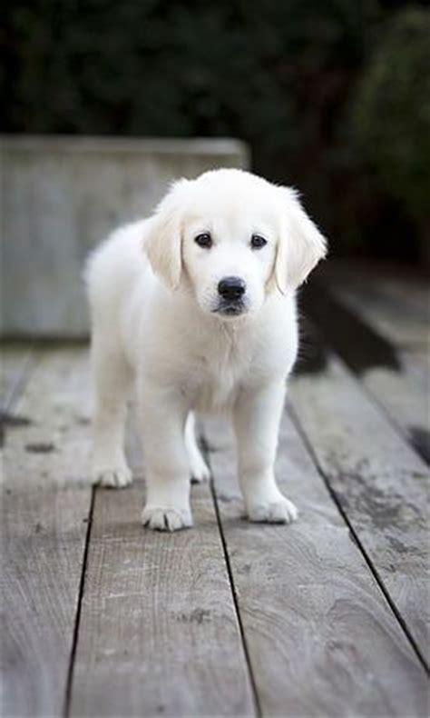 golden retriever puppies ni 1000 bilder zu tiere auf rottweilers labradore und niedliche welpen