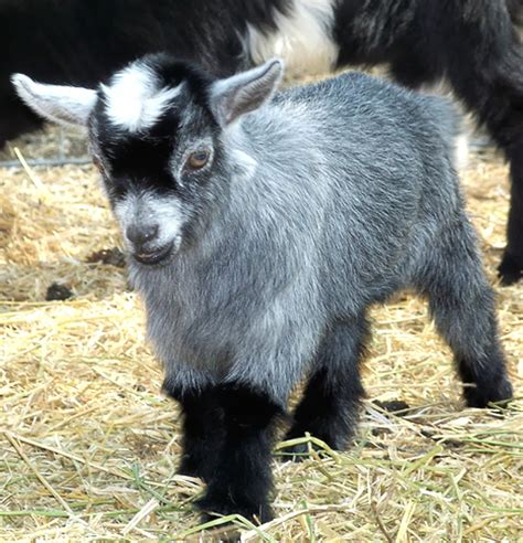Tiny House Facts by Roysfarm Caring For Newborn Pygmy Goats
