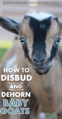 best 25+ pygmy goat house ideas on pinterest | goat house