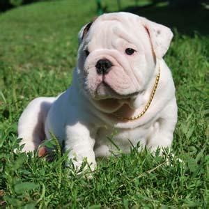 free bulldog puppies to home bulldog puppies free to caring and loving families juliet prlog